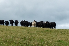 These are definitely Blackdown cows but how did they get to Bristol?